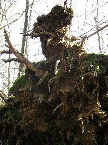 roots - racines du bois de mon grand-père 25 déc 2008