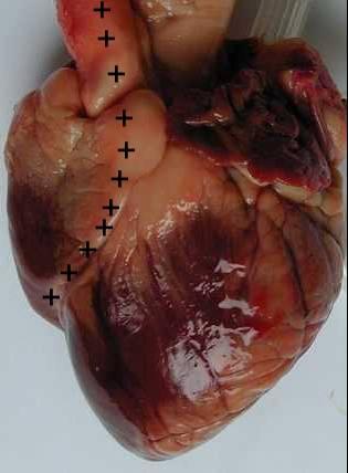 dissection coeur agneau