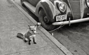 John Vachon fox.jpg