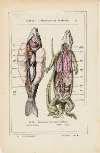 animaux - dissection 1830.jpg
